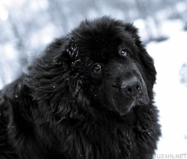 25 самых больших пород собак в мире, которых вы с удовольствием завели бы