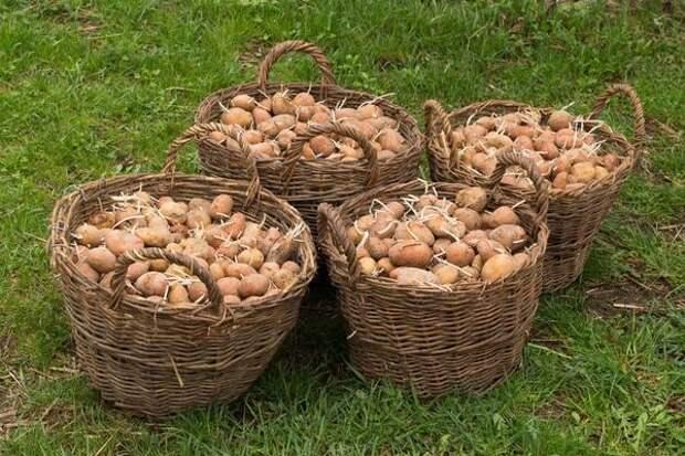 Как растет картофель в земле