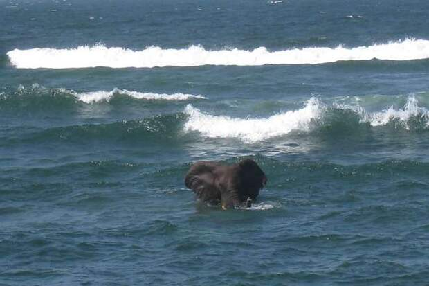 Слоны пловцы на длинные дистанции