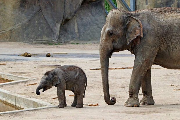 Учёные сочли генетическим ответом на браконьерство рождение слонов без бивней