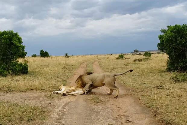 Как не следует будить спящую львицу