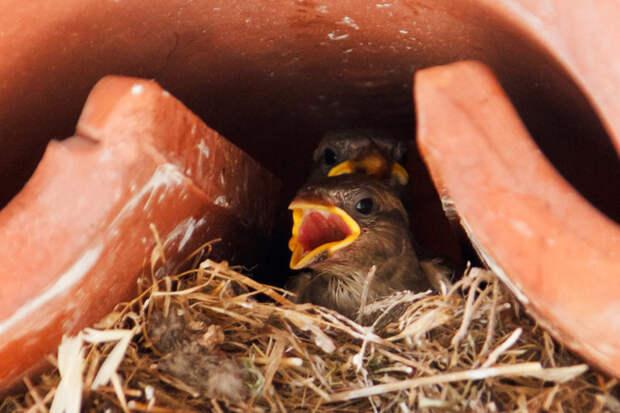 9. Птенцы, дней через 10 после появления на свет, вылетают в первый раз из одного гнезда.. Птенцов иногда называют  желторотиками. воробей, воробьи, животные, интересно знать, факты