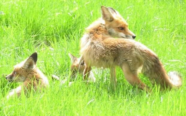 Вакцинация лис от бешенства началась в парке «Кузьминки-Люблино»