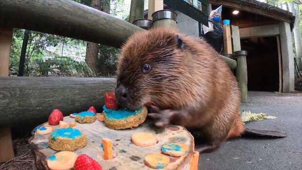 Бобру из Орегонского зоопарка подарили деревянный торт на день рождения