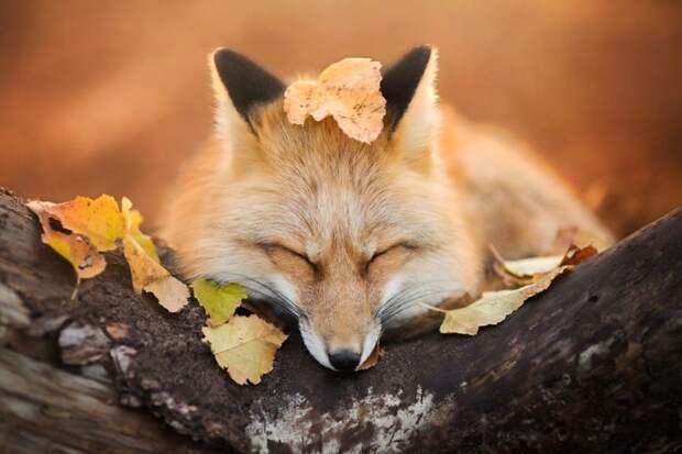 Знакомьтесь с фреей – очаровательной лисой из польши животные, лисица