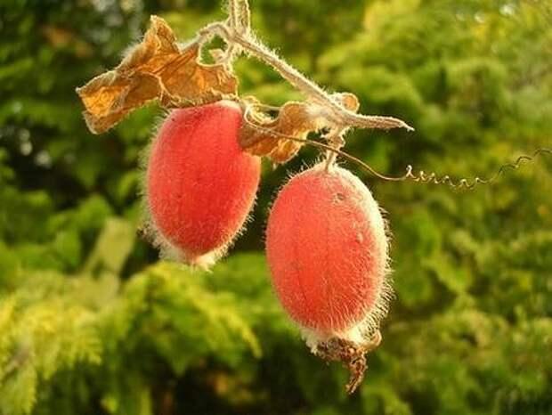Картинки по запросу thladiantha dubia