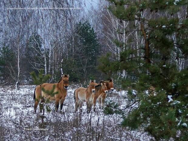 Появились зимние фото лошадей Пржевальского из зоны отчуждения Чернобыльской АЭС
