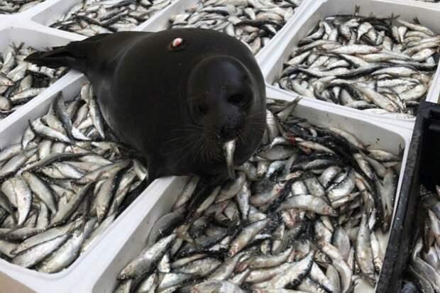 Конечно, Крошик рыбу продегустировал. Фото: https://vk.com/sealrescue