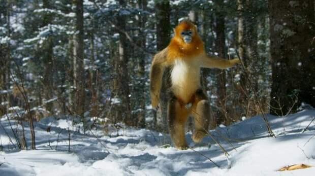 Тайна снежного человека раскрыта? Найдены возможные предки йети