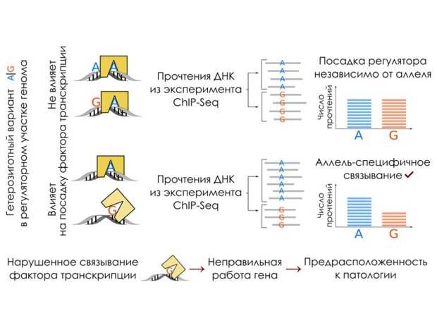 Составлен каталог сотен тысяч нуклеотидных замен, влияющих на активность генов человека