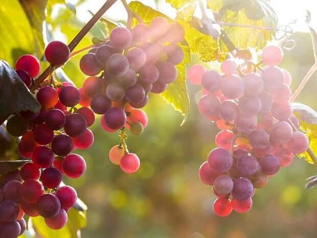 Эффективные способы сохранения черенков винограда