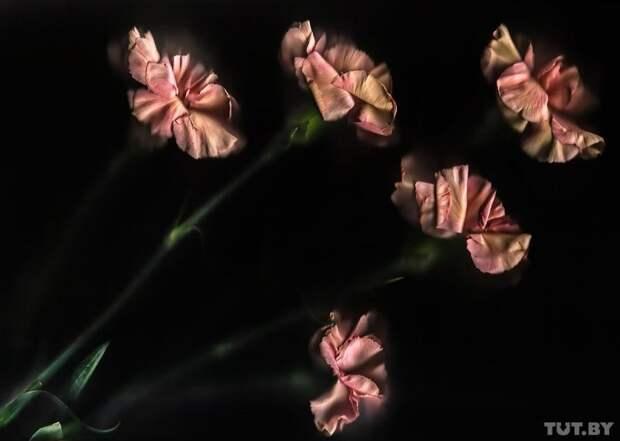 Гвоздика гвоздика, интересно, растение, роза, тюльпан, факты, цветок, цветы