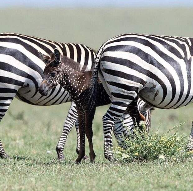 В Кении обнаружили маленькую зебру с пятнышками вместо полос