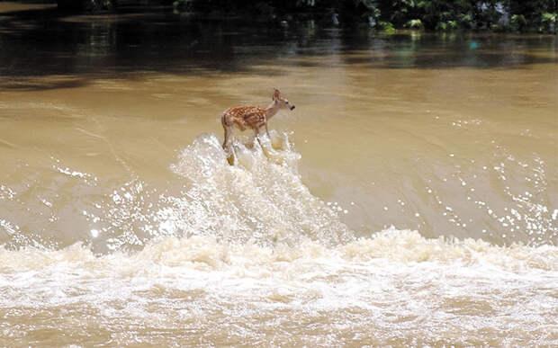 Олененок борется за свою жизнь в быстрых водах реки Вайт Ривер 9 июня 2008 года в штате Индиана. Олененка смыло с дамбы, но ему удалось подплыть к берегу и выбраться из воды.  (AP Photo/Vincennes Sun-Commercial, Kevin J. Kilmer)