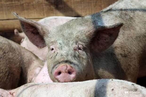 """""""Русагро"""" вслед за Приморьем хочет строить свинокомплексы в Китае"""