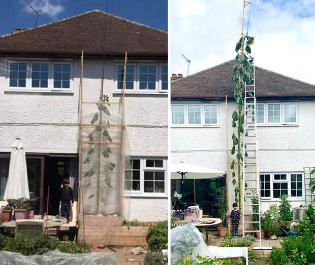 Британец вырастил подсолнух выше дома