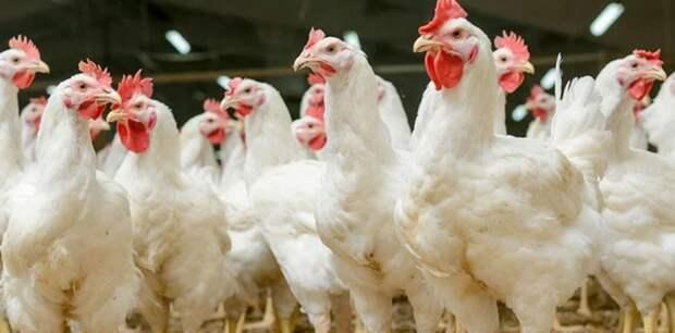 Как очистить курицу от гормонов и антибиотиков перед приготовлением