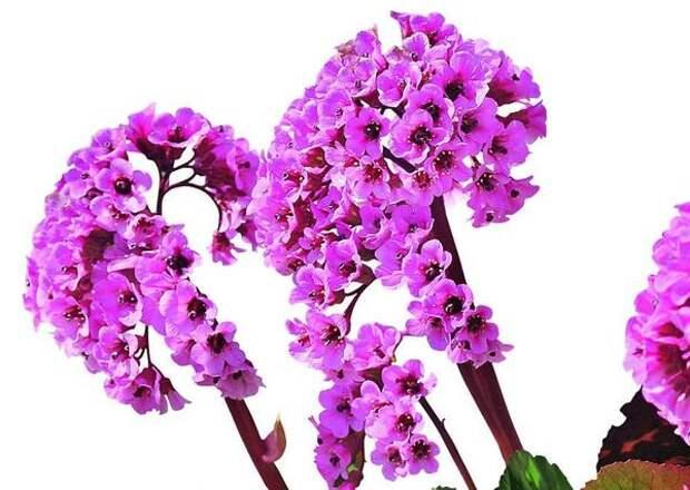 Бадан David может похвастать ослепительно яркими розовыми цветками, благодаря которым его видно издалека. Осенью же листья окрашиваются в не менее броский красный цвет.