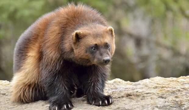 Удивительное животное, не похожее на всех остальных — лесной отморозок