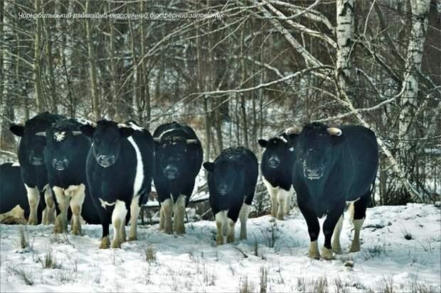 Одичавшие чернобыльские коровы удивляют ученых
