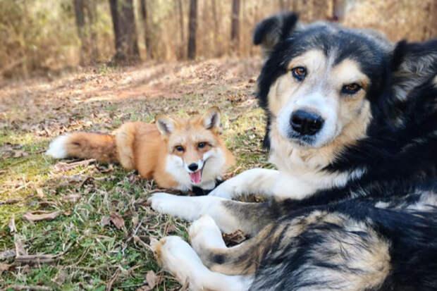 Собака и лиса теперь два неразлучных друга. Как питомица в первый раз привела хищника к деду во двор и что из этого вышло