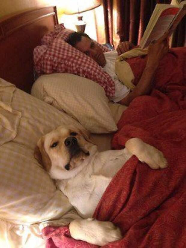 Сон на хозяйской кровати животные, жизнь, мир, роскошь, собака, удобство, фото