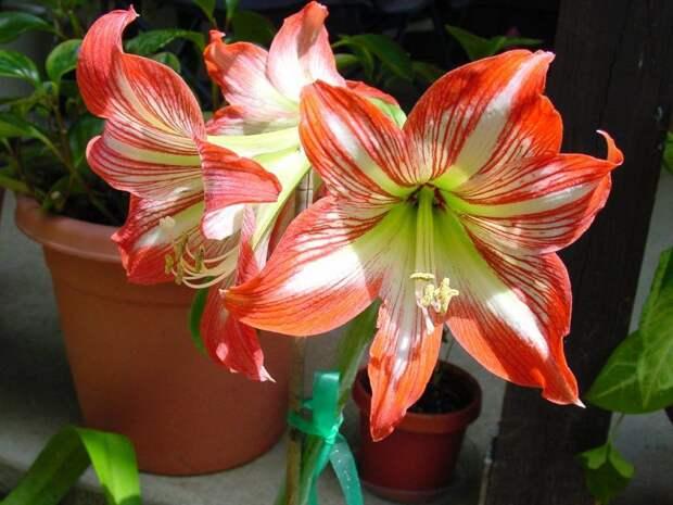 5 комнатных растений с самыми крупными цветками