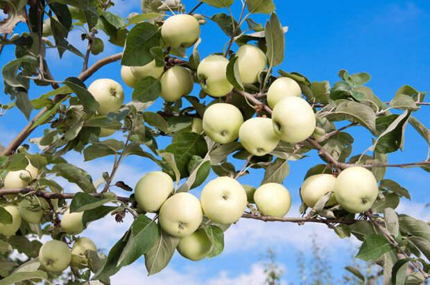 Как заготавливали яблоки сто лет назад: шесть простых рецептов