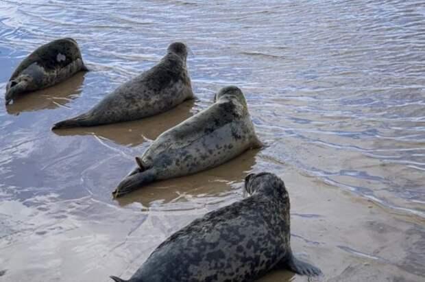 Смерть тюленей на Каспии может быть связана с ловлей рыбы — Минприроды