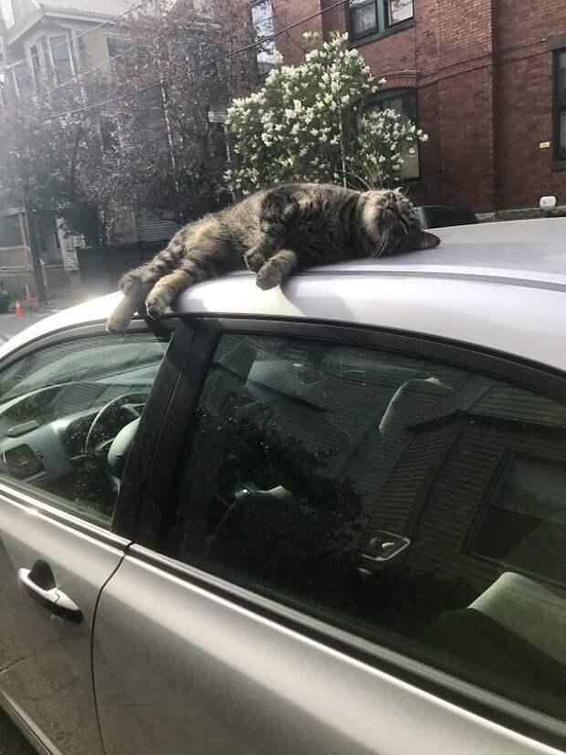 Сегодня утром соседский кот загорал на моей машине животные, котики, лучи, погреться, солнечные ванны, солнце, температура, тепло