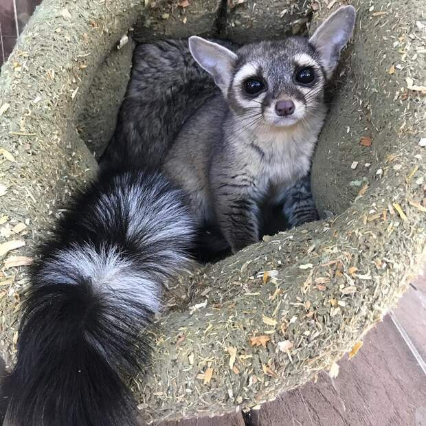 6 милых фото кошачьего енота