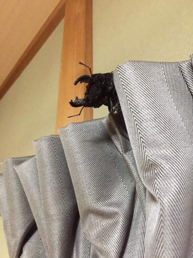 Спайк – жук-олень, который стал домашним животным и даже спит в собственной кроватке Спайк, в мире, домашние животные, жук олень, насекомые