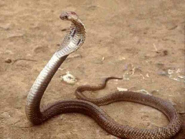 7. Филиппинская Кобра змеи, самые ядовитые, топ, топ-10
