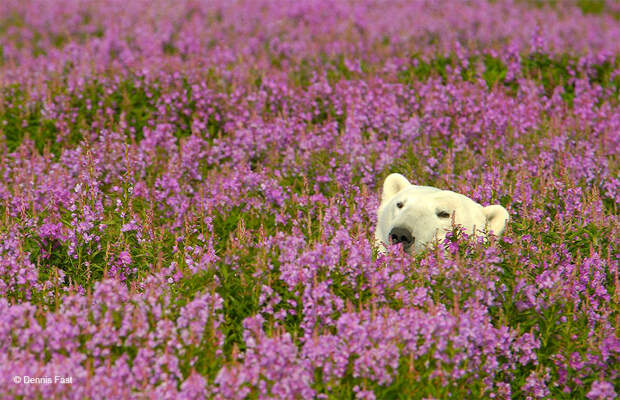 Денис Фаст сфотографировал, как полярные медведи резвятся в цветочном поле-24