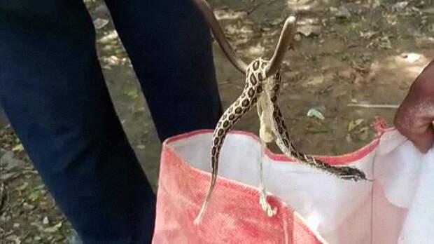 Цепочная гадюка родила 35 змеёнышей в ванной комнате жителя Индии. Фото: ANI