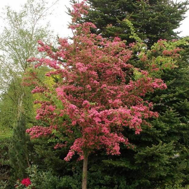 Боярышник обыкновенный, выращиваемый невысоким деревом