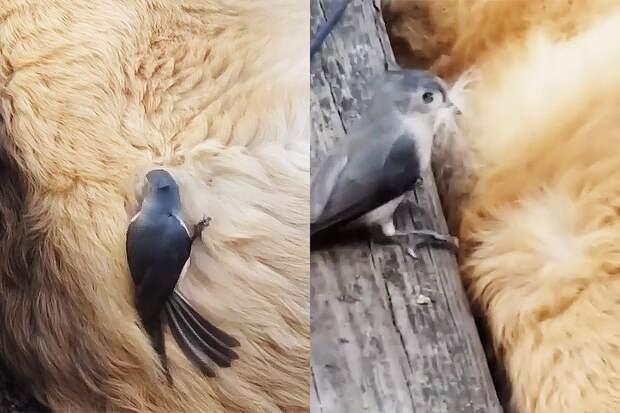 Птица для своего гнезда повыдергала шерсть уретривера, пока тот спал