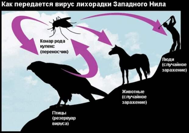 Лихорадка Западного Нила в Краснодарском крае. История появления, масштабы и последствия