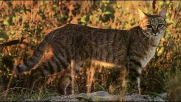 Ешь меня полностью: Дикий лесной кот не оставляет от жертвы даже костей
