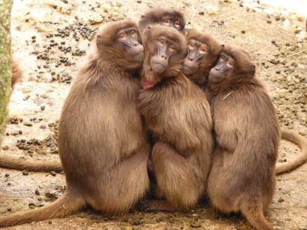 На Бали голодные обезьяны стали приходить к домам местных жителей и беспокоить их