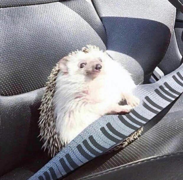 Довольный ёжик пристегнулся на пассажирском сиденье и стал героем соцсетей, попав в фотошоп-приключения