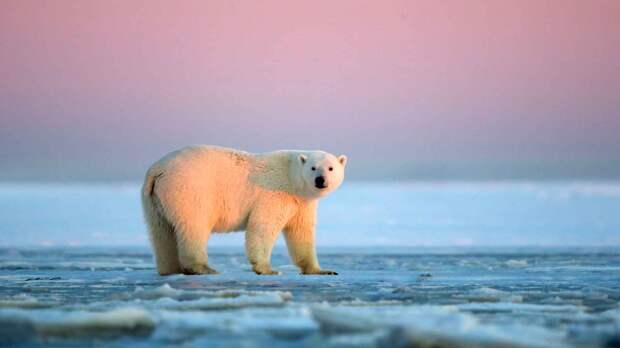 Белый медведь обитает на северном полюсе