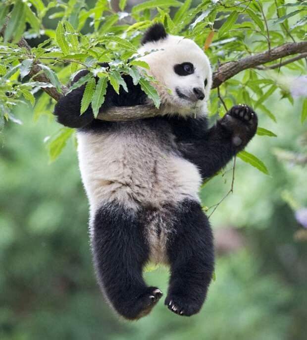 Самые нелепые падения панд в одном видео