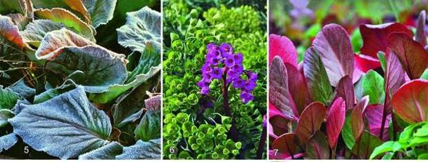 5. Покрытые изморозью листья бадана - эффектное зрелище. Красно-зеленые опахала растения оживляют черно-белые зимние цветники. 6 EROICA считается одним из лучших сортов. На фоне желто-зеленого молочая Сегье фиолетово-красные цветки этого бадана выглядят особенно выигрышно. С наступлением холодов листья становятся красными. 7. У OESCHBERG также осенью и зимой листья привлекают внимание броской окраской, а весной растение украшают соцветия с розовыми цветками.