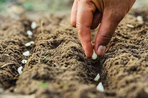 Рассадой и семенами. Когда сажать тыквенные исеять бобовые