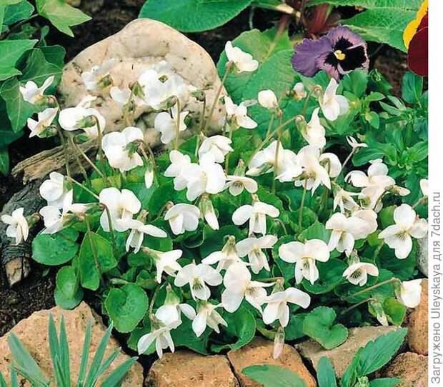 Фиалка душистая среди камней. Фото с сайта swallowtailgardenseeds.com