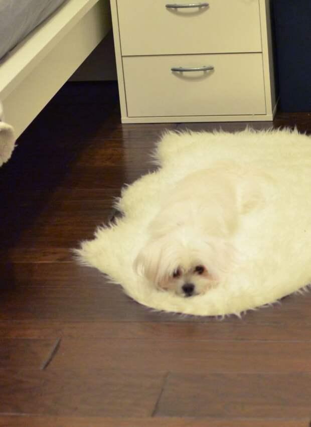 Собачка, расслабленно тающая на коврике животные, расслабленность, смешно, фото