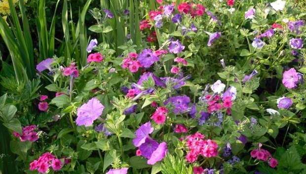 Неприхотливые цветы - красота, не требующая жертв. Фото автора