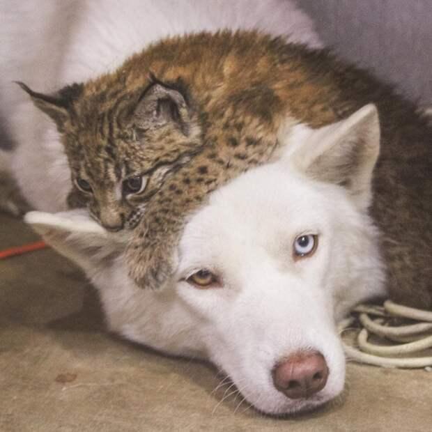 Девушка из России спасла двух рысей со звероводческой фермы и подарила им новую жизнь с собаками и лошадьми
