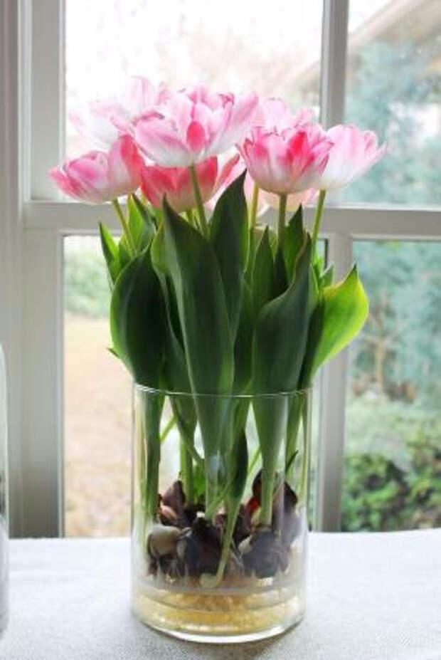 Выращивание тюльпанов в прозрачной вазе (5) (300x449, 103Kb)
